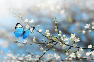 Cherry blossom in wild and butterfly. Springtime